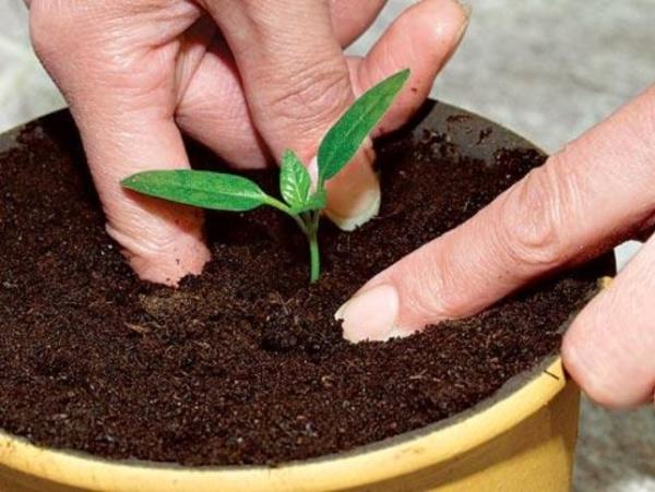 Как можно вырастить сливу в домашних условиях: необходимые этапы